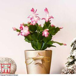 Mini Christmas Cactus in Coloured Pot