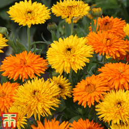 Calendula officinalis 'Calexis Duo'