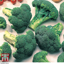 Broccoli 'Marathon' (Calabrese)