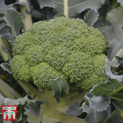 Broccoli 'Komodo' F1 Hybrid (Calabrese)