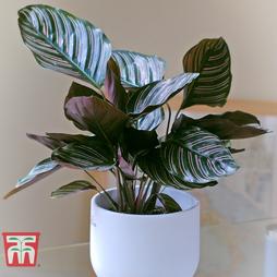 Calathea 'Sanderiana' (House Plant)