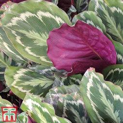 Calathea veitchiana 'Medaillon' (House Plant)