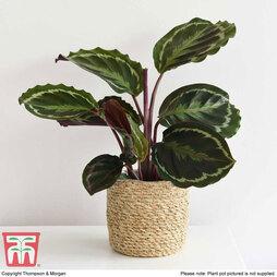 Calathea roseopicta 'Medaillon' (House Plant)