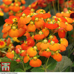 Calceolaria 'Calynopsis Orange'