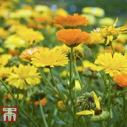 Calendula officinalis 'Fiesta Gitana Mixed'