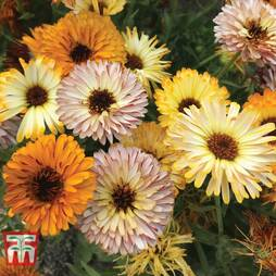 Calendula officinalis 'Playtime Mix'