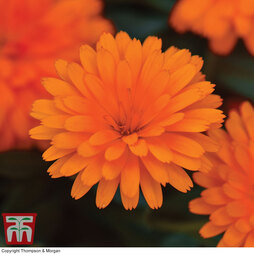 Calendula 'Power Daisy Orange'