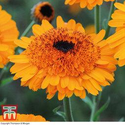 Calendula 'Crown Orange'