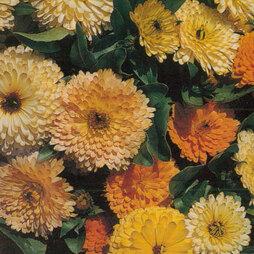Calendula 'Art Shades' (Start-A-Garden™ Range)