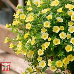 Calibrachoa 'Million Bells Yellow'