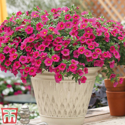 Calibrachoa 'Million Bells Pink'