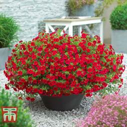 Calibrachoa 'Million Bells Red'