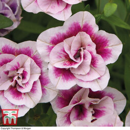Calibrachoa Calita® Double Pink Bicolour'