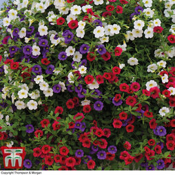 Calibrachoa 'Red, White & Blue Mix'
