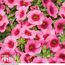 Calibrachoa 'Conga Rose Kiss'