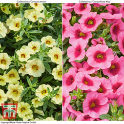 Calibrachoa 'Conga Collection'