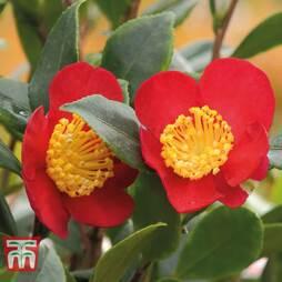 Camellia 'Yuletide' - Gift