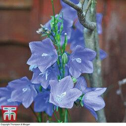 Campanula persicifolia 'Blue Bell'
