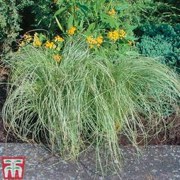 Carex 'Amazon Mist'
