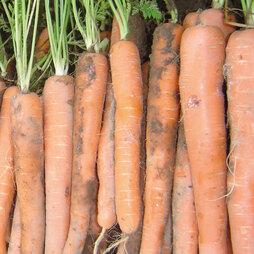 Carrot 'Mokum' F1 Hybrid
