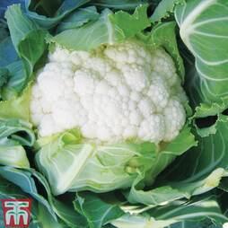 Cauliflower 'Tirza'