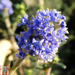 Ceanothus 'Puget Blue' 3.6 Litre Potted