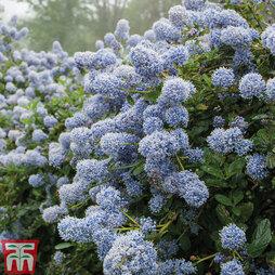 Ceanothus 'Puget Blue' 3 Litre Potted