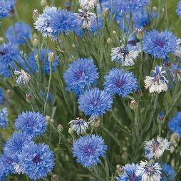 Cornflower 'Dwarf Blue Midget'