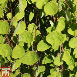 Cercidiphyllum japonicum f. pendulum
