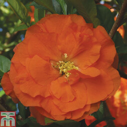 Chaenomeles 'Double Take™ Orange'