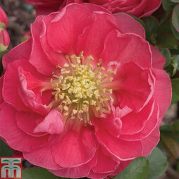 Chaenomeles 'Double Take™ Pink'