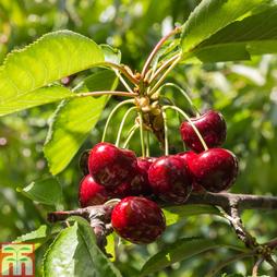Cherry 'Sylvia' (Mini Fruit Tree)