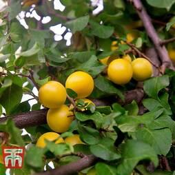 Cherry plum (Hedging)