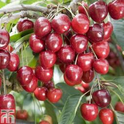 Cherry 'Kordia'