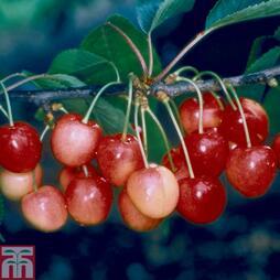 Cherry 'Merton Glory'