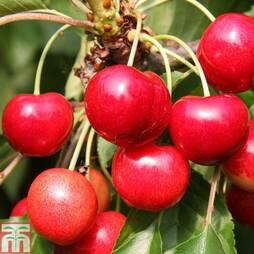 Cherry 'Meteor Korai'