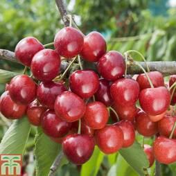 Cherry 'Penny'