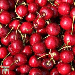 Cherry 'Sweetheart'