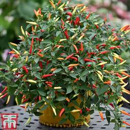 Chilli Pepper 'Basket of Fire' F1