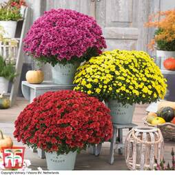 Chrysanthemum 'Hardy Patio Improved'