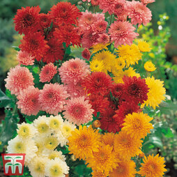 Chrysanthemum 'Double American Spray Mix'