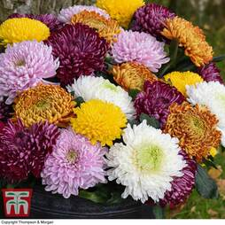 Nurserymans Choice Chrysanthemums