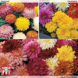 Chrysanthemum 'Bumper Pack'