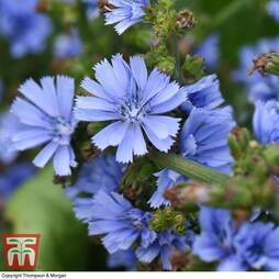 Cichorium intybus 'Electric Blue'