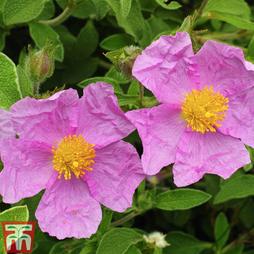 Cistus creticus subsp. creticus