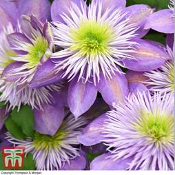 Clematis Crystal Fountain™ evipo038