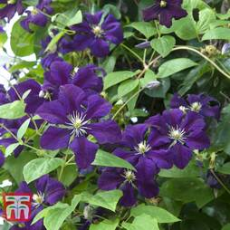 Clematis 'Étoile Violette'