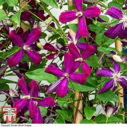 Clematis 'Sweet Summer Love'