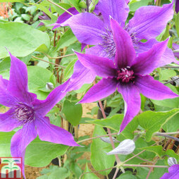 Clematis 'Guiding Promise'™ evipo053