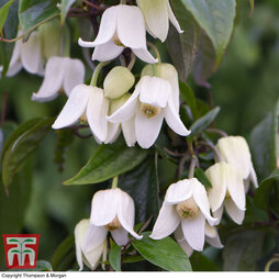 Clematis urophylla 'Winter Beauty'